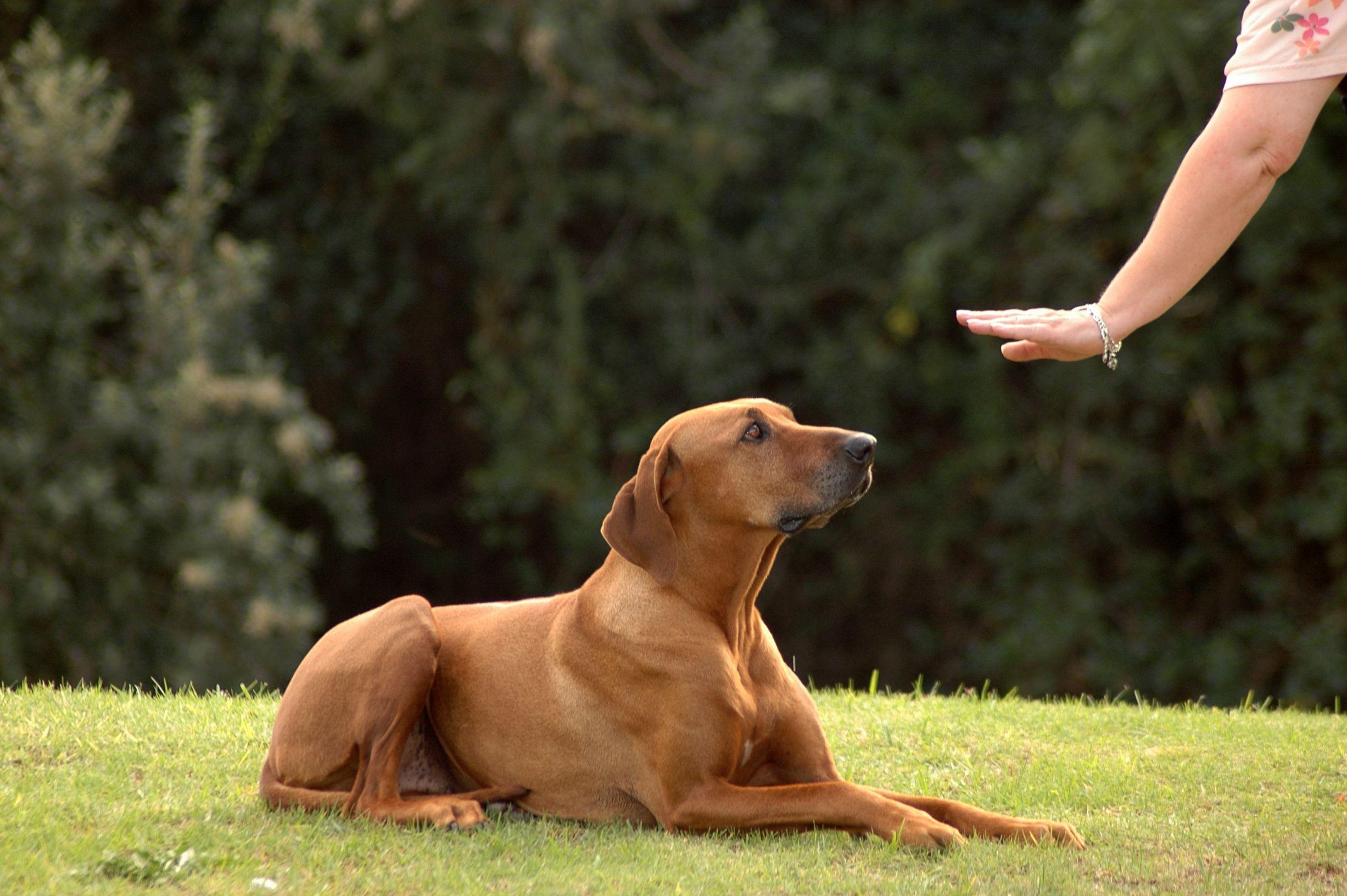 dressage de son chien