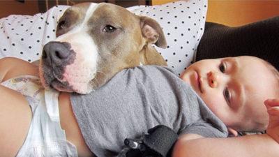 Pitbull et enfant