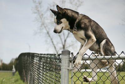 Pourquoi les chiens fuguent