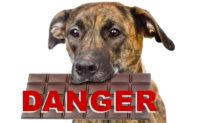 Le chocolat est potentiellement mortel pour votre chien